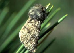 la processionnaire du pin le papillon de jean henri fabre. Black Bedroom Furniture Sets. Home Design Ideas